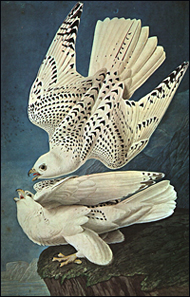 White Gerfalcons by John James Audubon