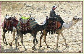 Camels, photograph by Jordan Busson